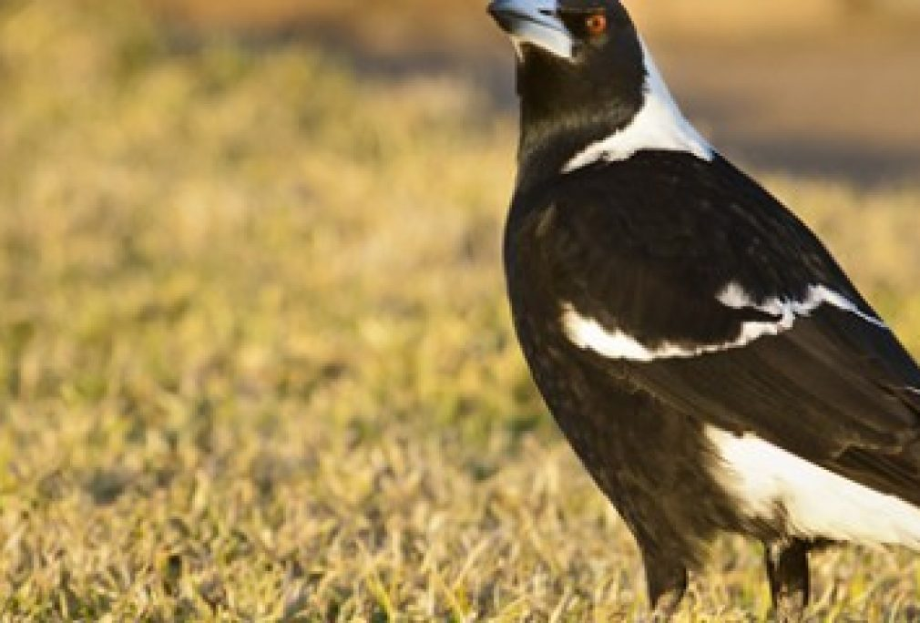 Swooping birds pose a serious threat